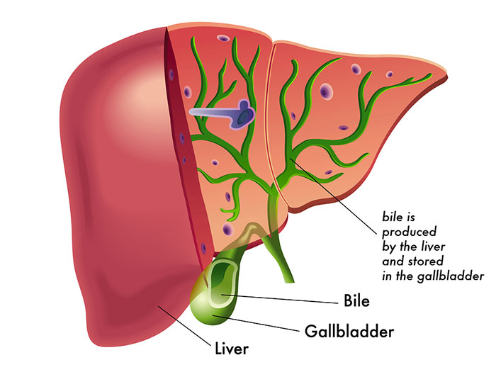 Role Of Bile In Digestion And Immunity Peace With Endo