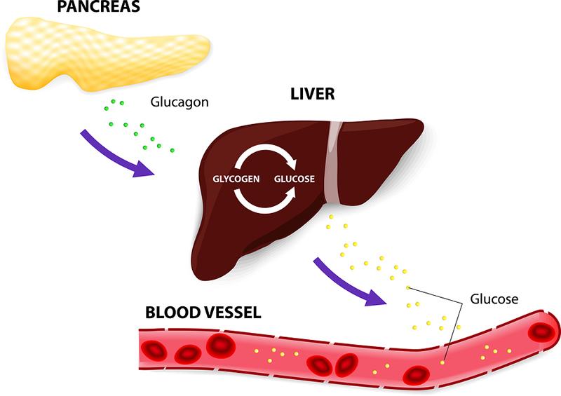 Glycogen & Hormone Balance